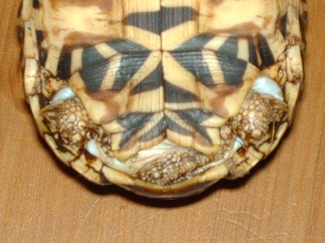 tortues étoilées d'Inde, mâle ou femelle? Image137