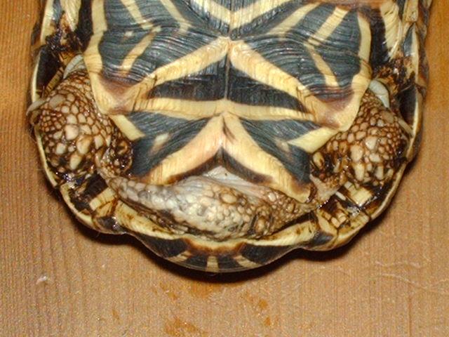 tortues étoilées d'Inde, mâle ou femelle? Image138
