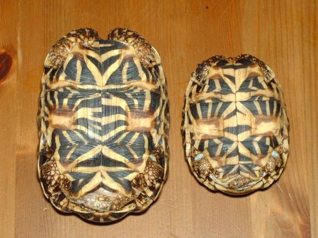 tortues étoilées d'Inde, mâle ou femelle? Image139