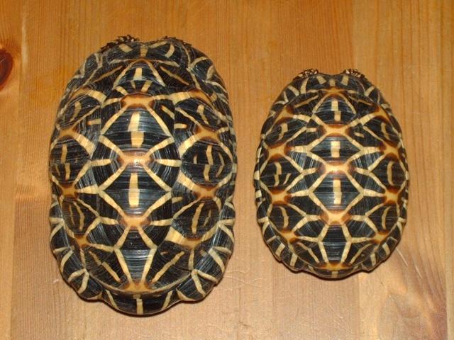 tortues étoilées d'Inde, mâle ou femelle? Image140