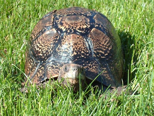 Identification tortue-léopard Image146