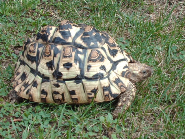 Identification tortue-léopard Image147