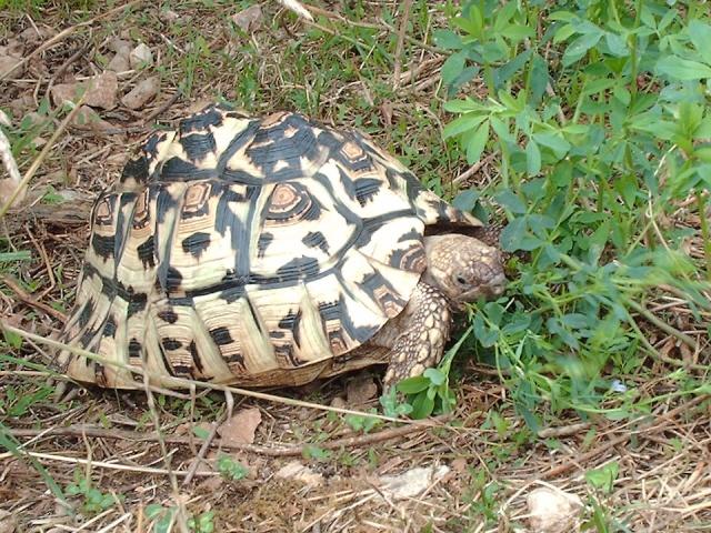 Identification tortue-léopard Image148