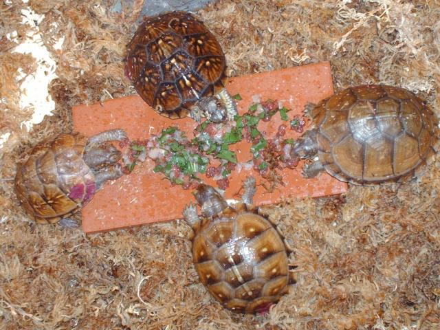 Petit casse croute de mes terrapènes carolina triunguis Images36
