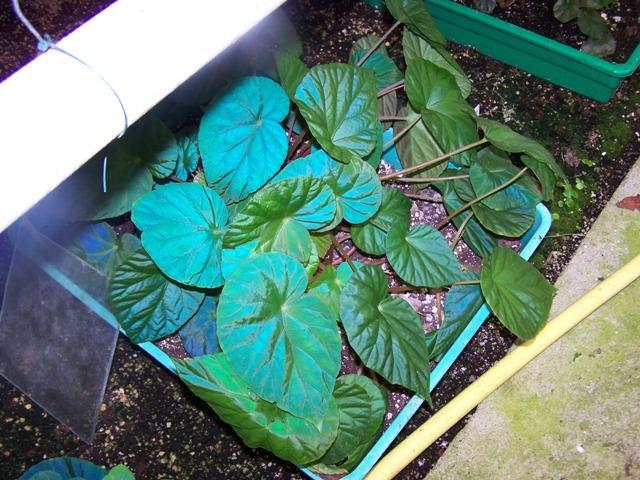 Le secret des bégonias à feuilles bleues est peut-être percé 100_0410