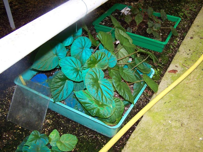 Le secret des bégonias à feuilles bleues est peut-être percé 100_0412
