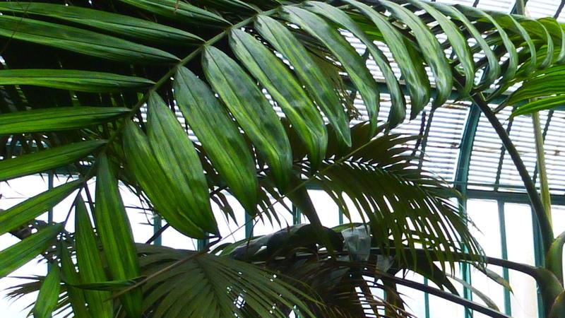 J'ai découvert une chose bizarre sur les palmiers  P1220810