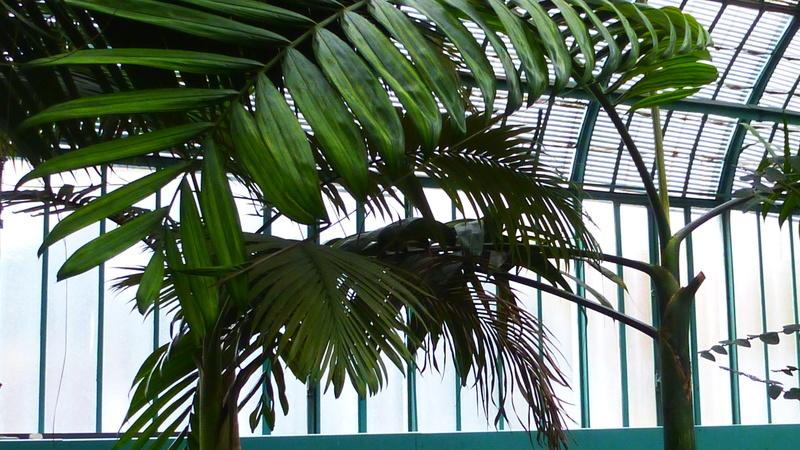 J'ai découvert une chose bizarre sur les palmiers  P1220811