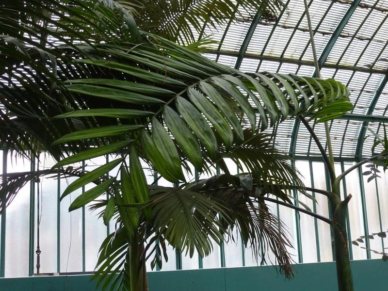 J'ai découvert une chose bizarre sur les palmiers  P1220812