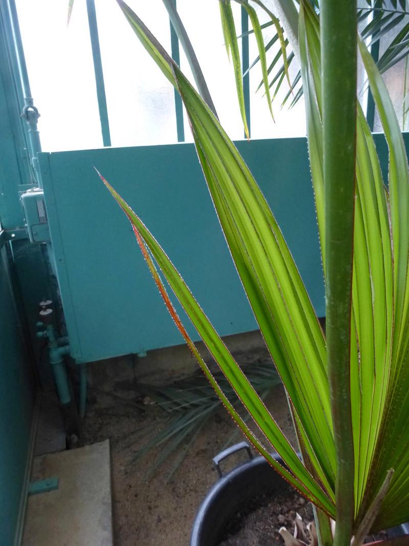 Jeune palme de Latania lontaroides  P1220813