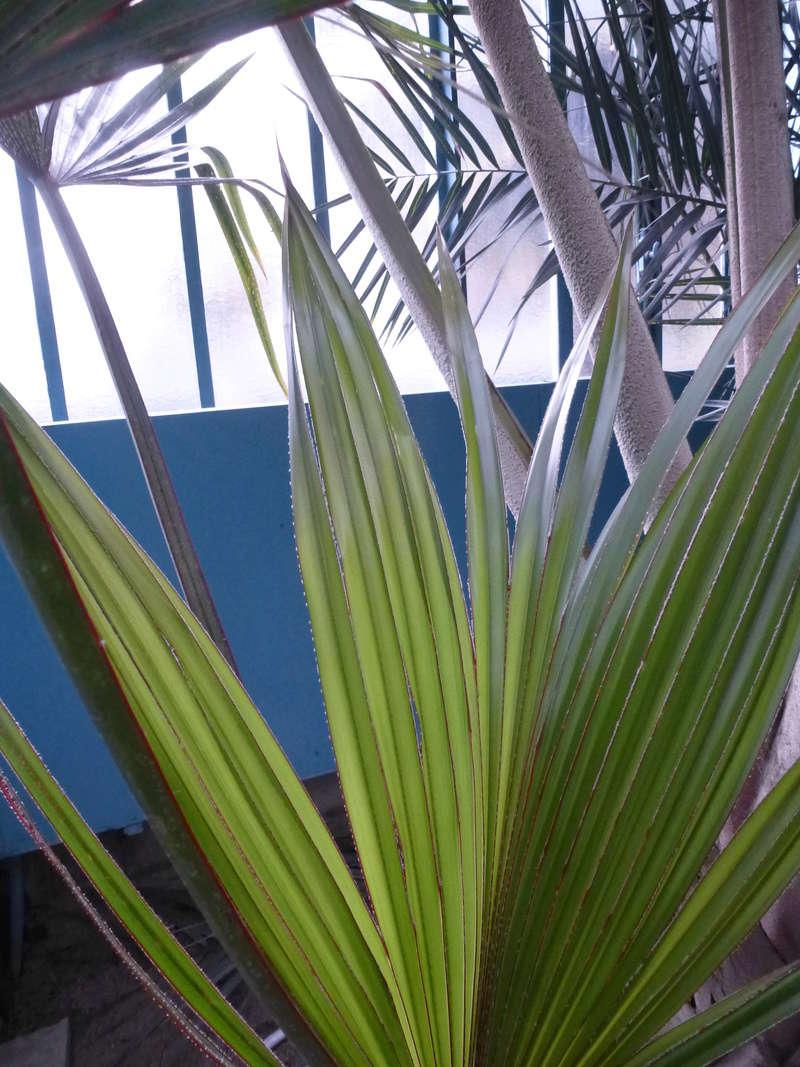Jeune palme de Latania lontaroides  P1220814