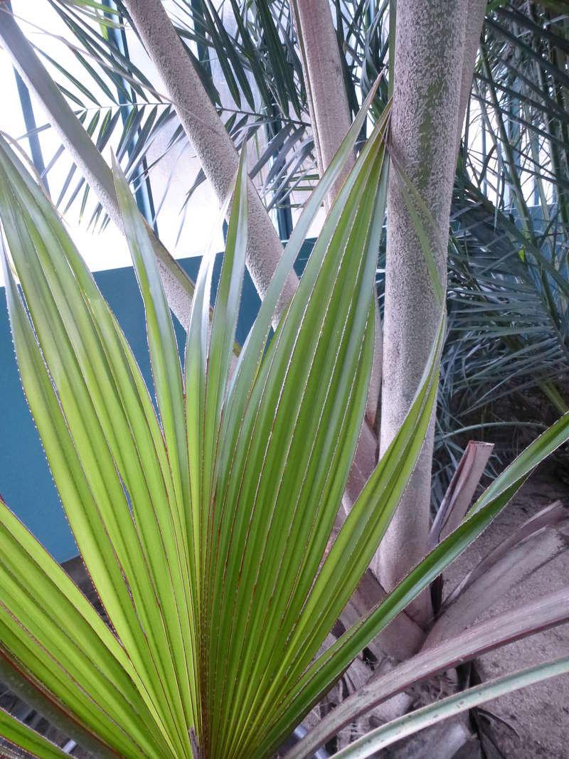 Jeune palme de Latania lontaroides  P1220815