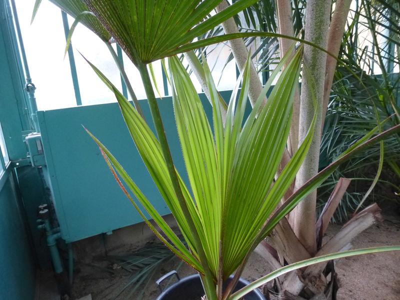 Jeune palme de Latania lontaroides  P1220816