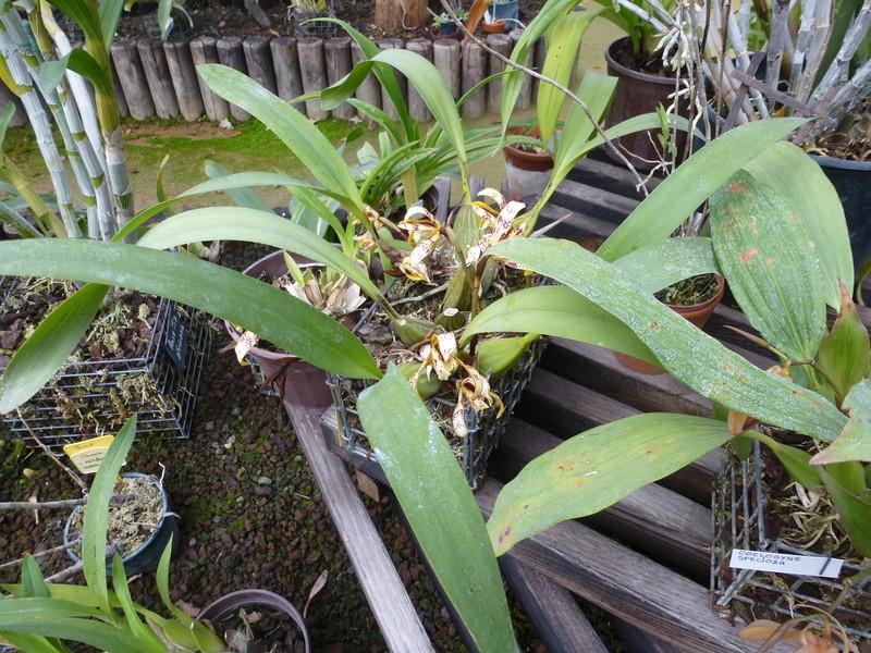 Maxillaria picta  P1220822