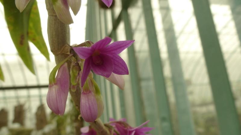 Dendrobium myakei P1220826