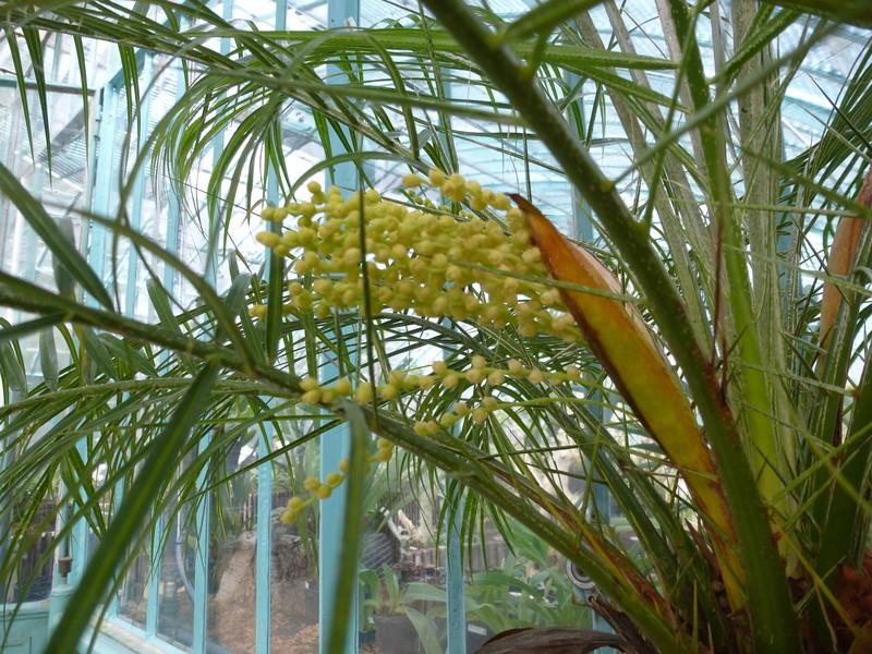 Floraison de Phoenix roebelinii P1220836