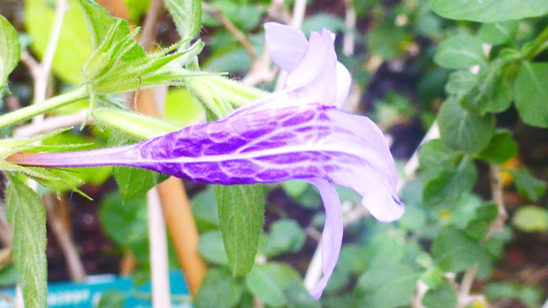 Dychoriste thunbergiiflora P1220837