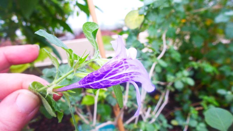 Dychoriste thunbergiiflora P1220838