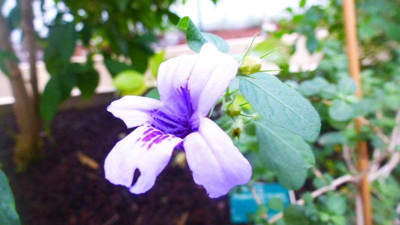 Dychoriste thunbergiiflora P1220840
