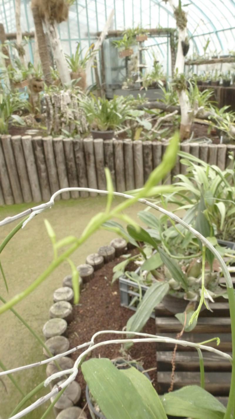 Dockrillia teretifolia va bientôt fleurir  - Page 2 P1220912