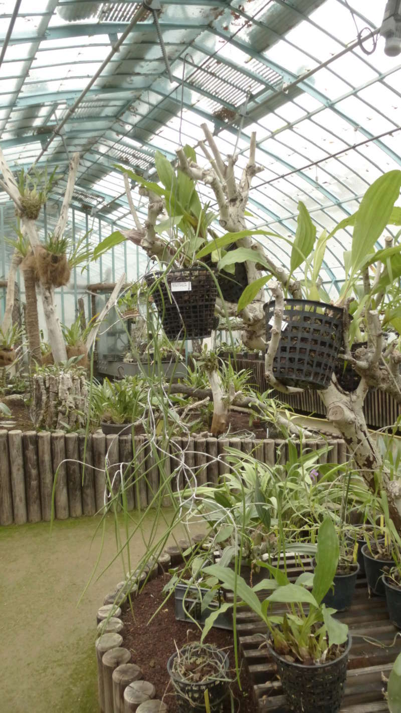 Dockrillia teretifolia va bientôt fleurir  - Page 2 P1220913