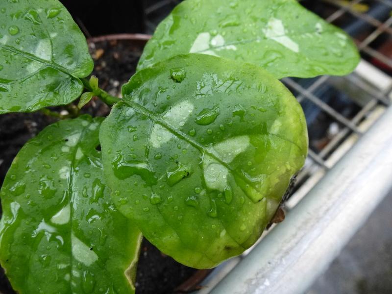 Une inconnue ???? Pseuderanthemum alatum ??? P1220915