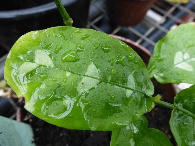 Une inconnue ???? Pseuderanthemum alatum ??? P1230011