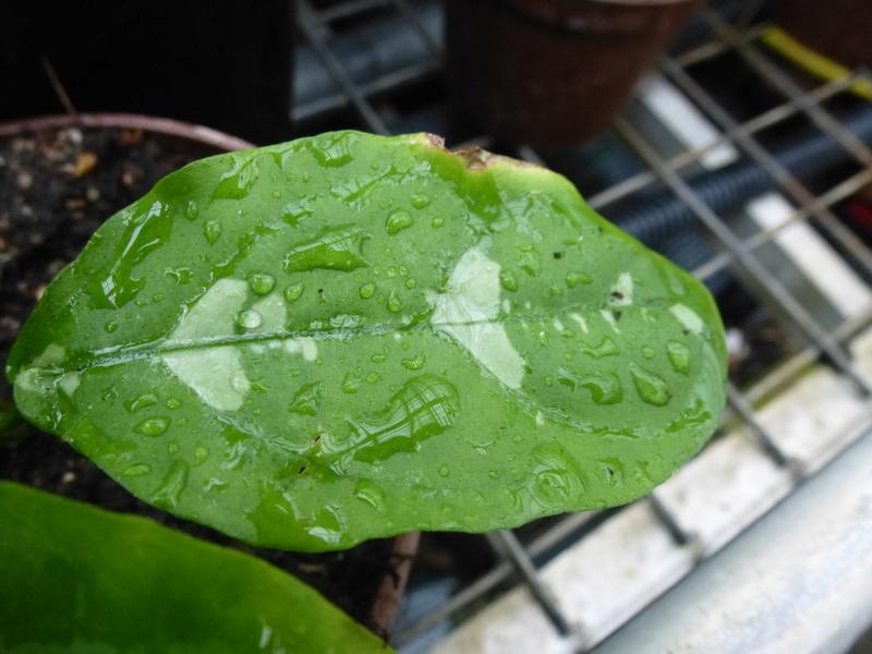 Une inconnue ???? Pseuderanthemum alatum ??? P1230012