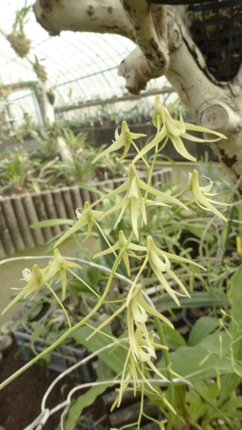 Dockrillia teretifolia va bientôt fleurir  P1230027