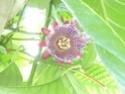 Passiflora alata P1040122
