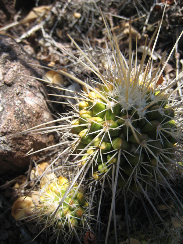 Mammillaria nagliana Img_1510