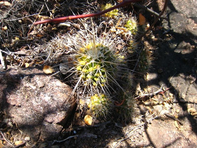 Mammillaria nagliana Img_1511