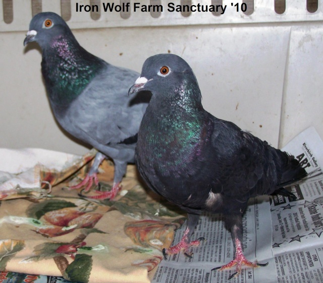 Adding two more pigeons to our sanctuary... Placid10