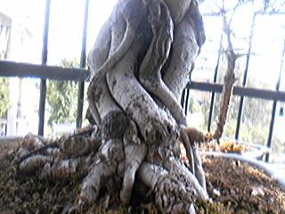 Radici Aeree Ficus Olmo110