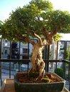 Radici Aeree Ficus Olmos10