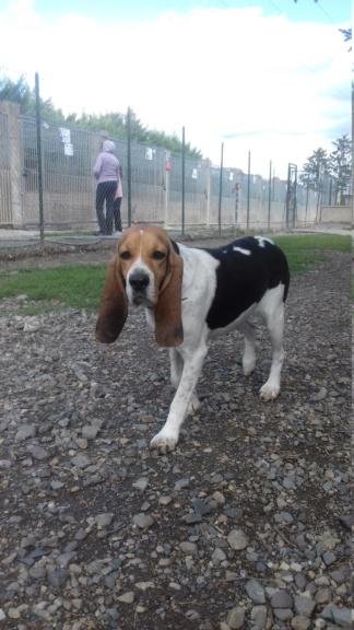 REINE (femelle croisée beagle)  20200924