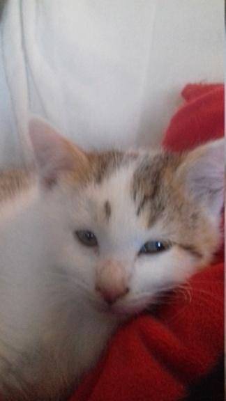 Krokmou (chaton tigre rouX et blanc) 20201112