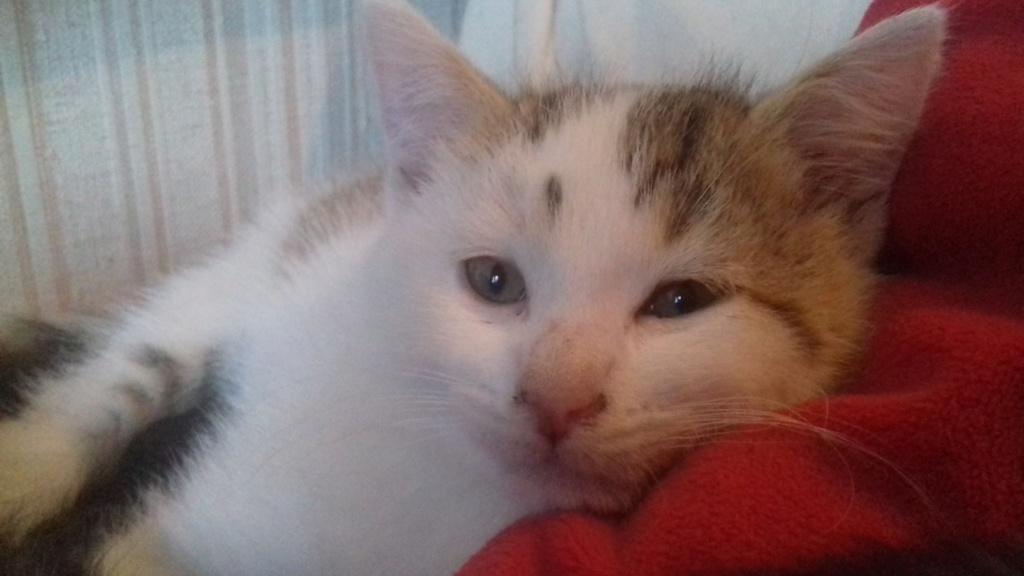 Krokmou (chaton tigre rouX et blanc) 20201113