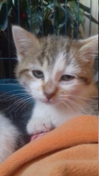 Kovü ( chaton tigré roux et blanc) 20201114