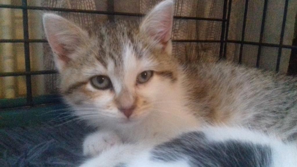 Kovü ( chaton tigré roux et blanc) 20201115