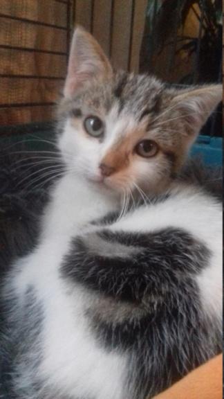 KEIKO ( chaton blanc tâches grises) 20201116