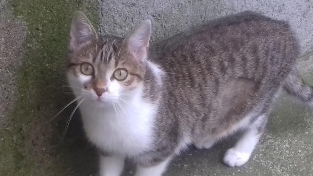 Ysatis (chaton femelle tigrée et blanche) 20201131