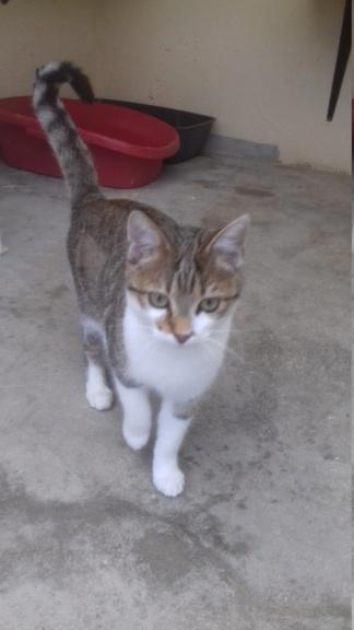 Ysatis (chaton femelle tigrée et blanche) 20201132