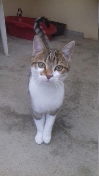 Ysatis (chaton femelle tigrée et blanche) 20201133