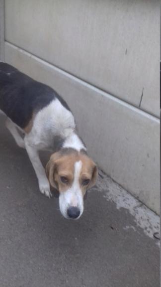 GOMETTE  (femelle croise beagle) 20201136