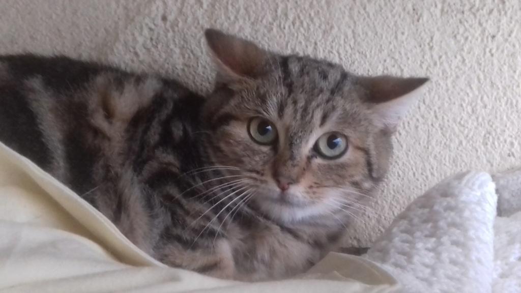 Nimbus (chaton tigré ) 20201141