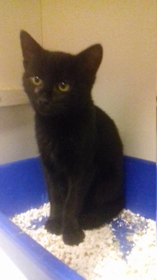 CARBONNE  (chaton mâle noir) 20201162