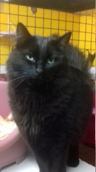 GuyGuy  (chat mâle angora noir) 20201214