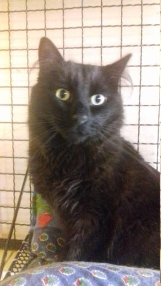 GuyGuy  (chat mâle angora noir) 20201215
