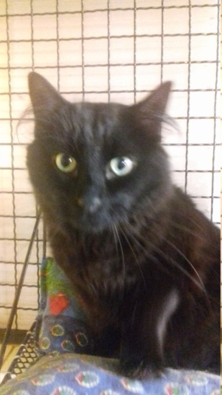 GuyGuy  (chat mâle angora noir) 20201216